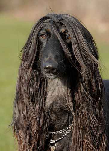 Bbacf84c3d989f358deadc1b7d8e2d0e Jpg 364 500 Afghan Hound Dog Breeds Old Dogs