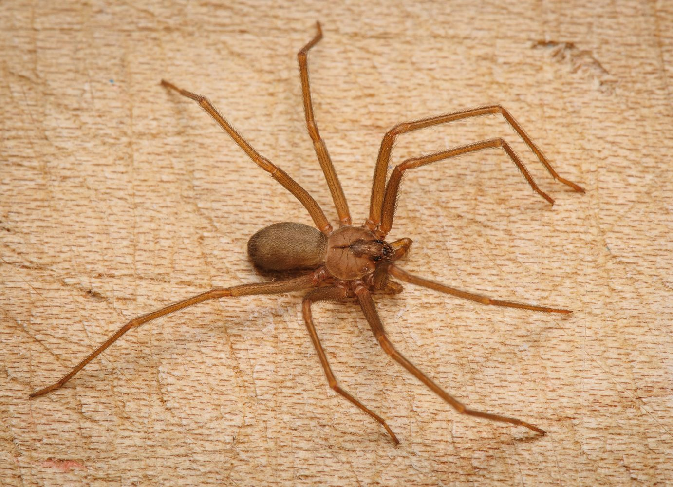 brown recluse images - HD1382×1000