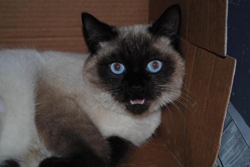 Whiffy Siamese Cat Decatur GA Siamese cats, Siamese, Pets