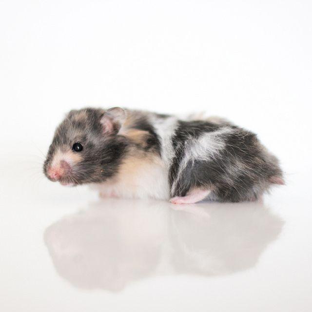 Black Tortoiseshell Banded LH Syrian hamster