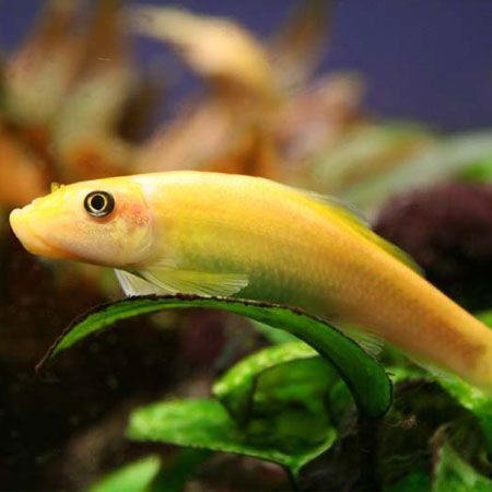 Gold Algae Eater Tropical Fish Store Fish Tropical Aquarium