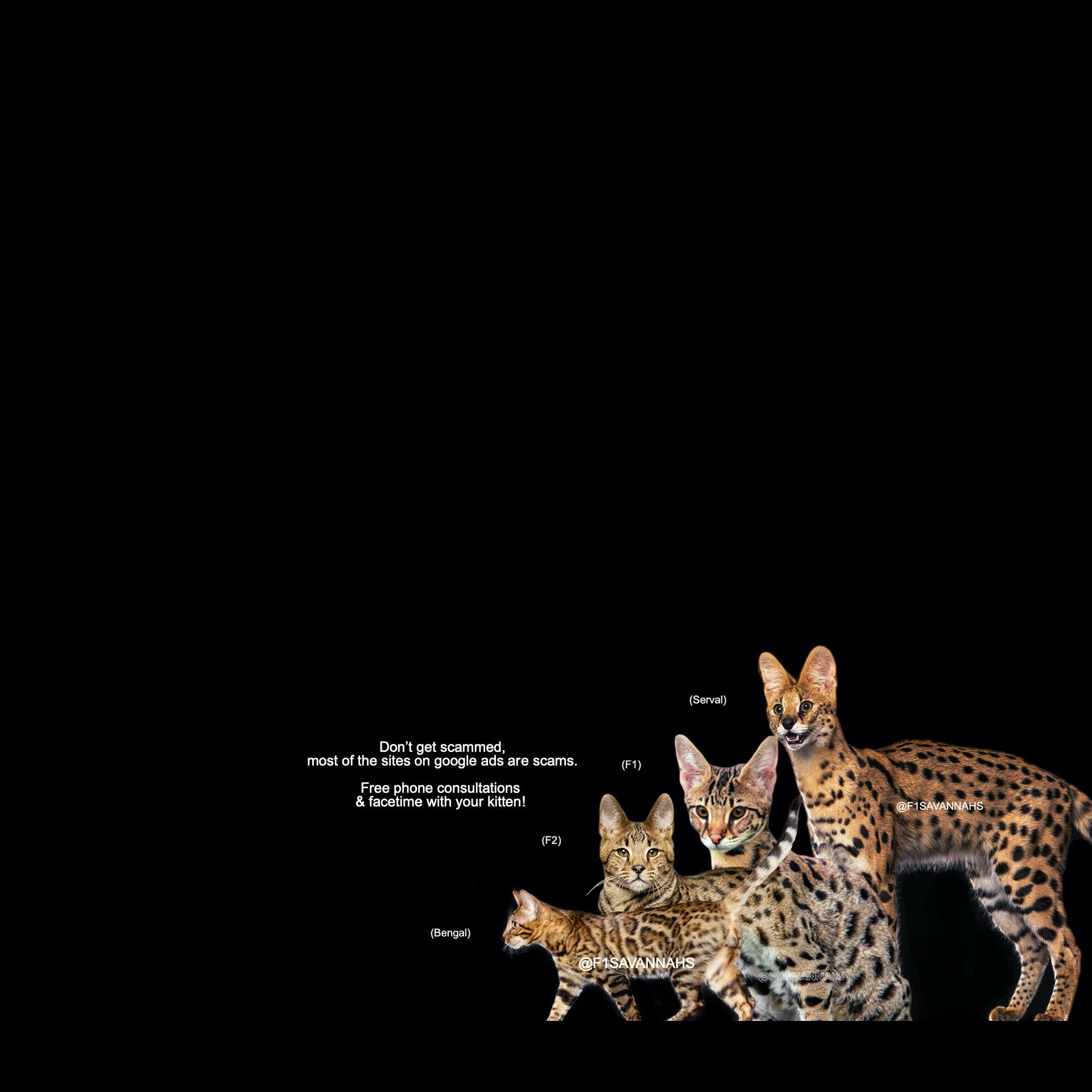 F1 Savannah Cat And Kitten Breeder For Sale In Los Angeles In 2020 Savannah Cat Cats And Kittens Savannah Chat