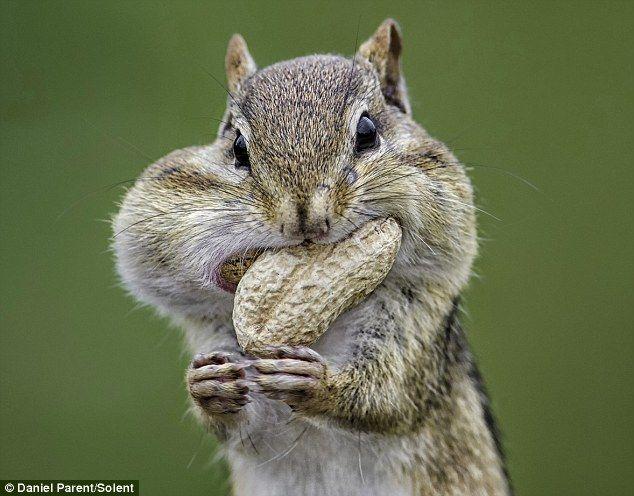 A hungry chipmunk is chock full o'nuts in western Ottawa, Canada