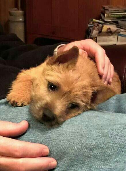 Such Cute Puppies Norwich Terrier Norwich Terrier Norfolk