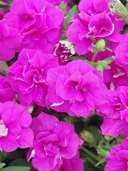 2013 Ngb New Variety Petunia Surfinia Summer Double Available