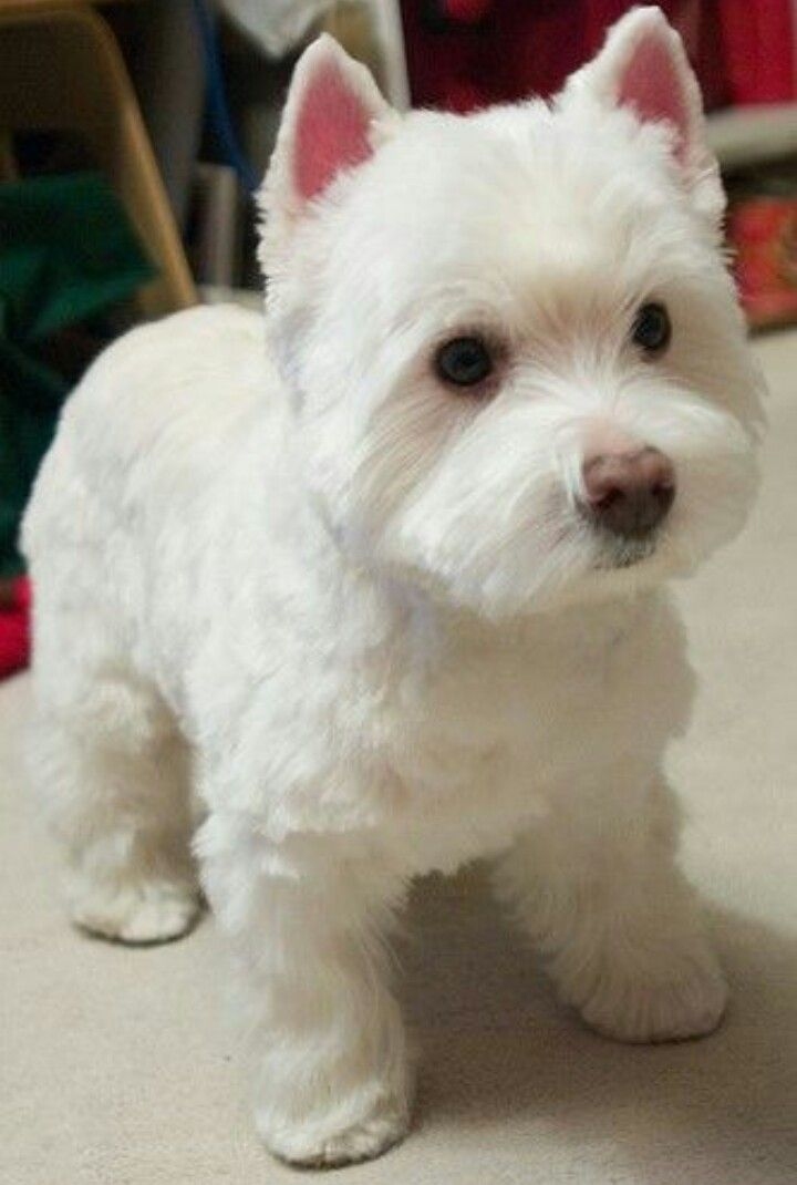What A Beautiful Hair Cut And A Cute Westie Westies