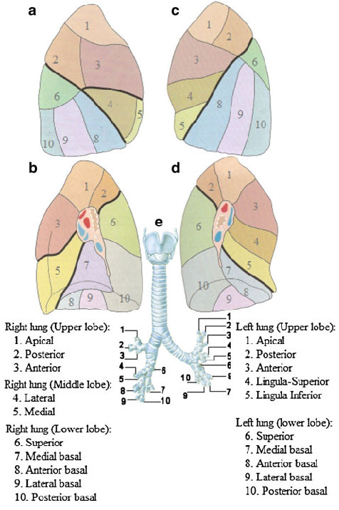 1 Bronchopulmonary Segments A Right Lung Lateral View B Right