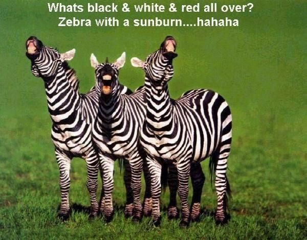 Zebra Joke | Zebras Only | Pinterest | Animal captions ...