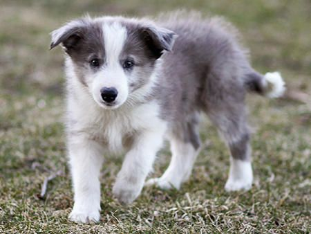 Blue Long Hair Border Collie Puppy Puppies Dogs And Puppies