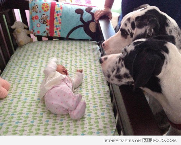 Great Danes meet newborn baby. Hope they don't think it's a new squeaky toy. Eek!