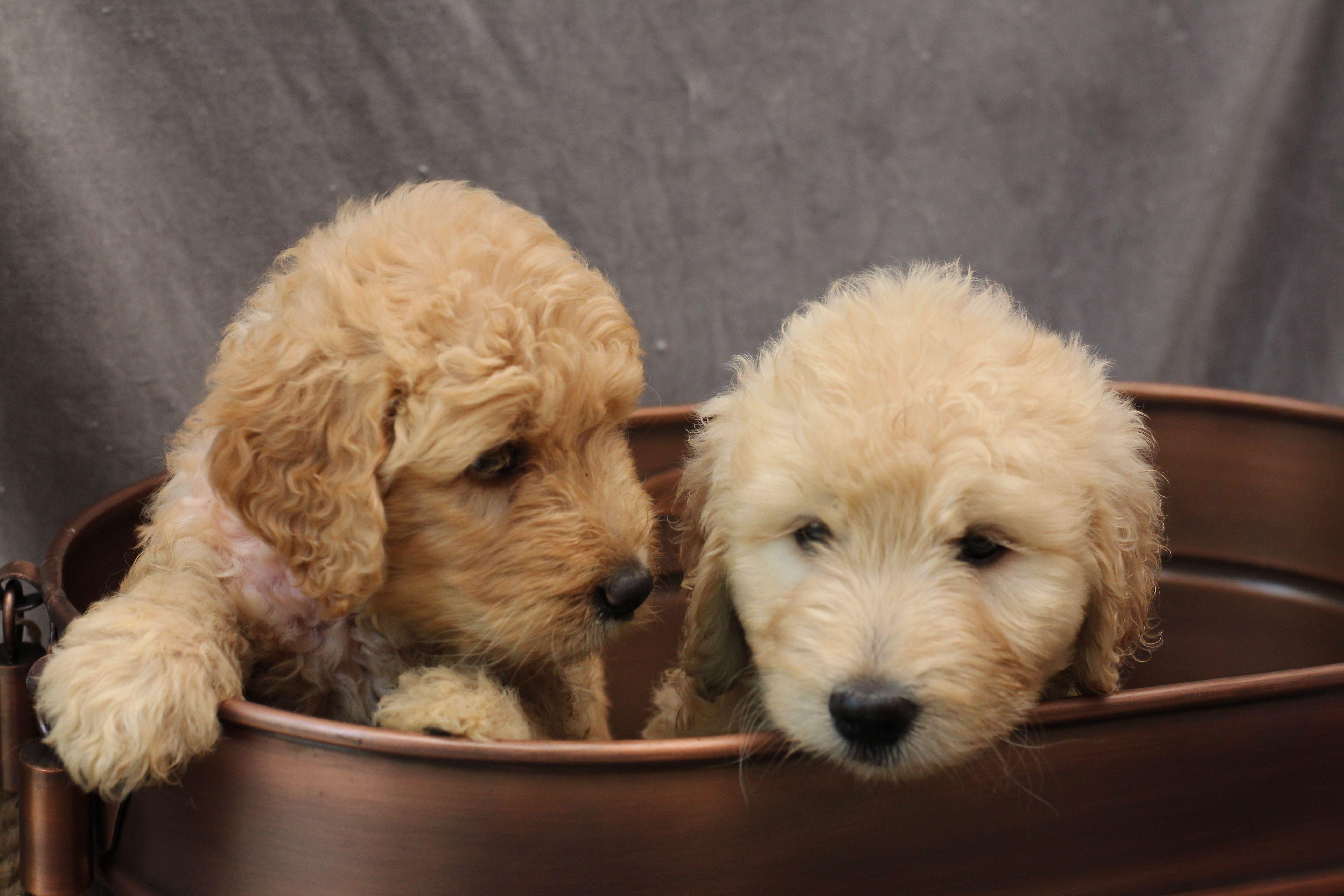 Goldendoodles goldendoodle puppies goldendoodle puppy