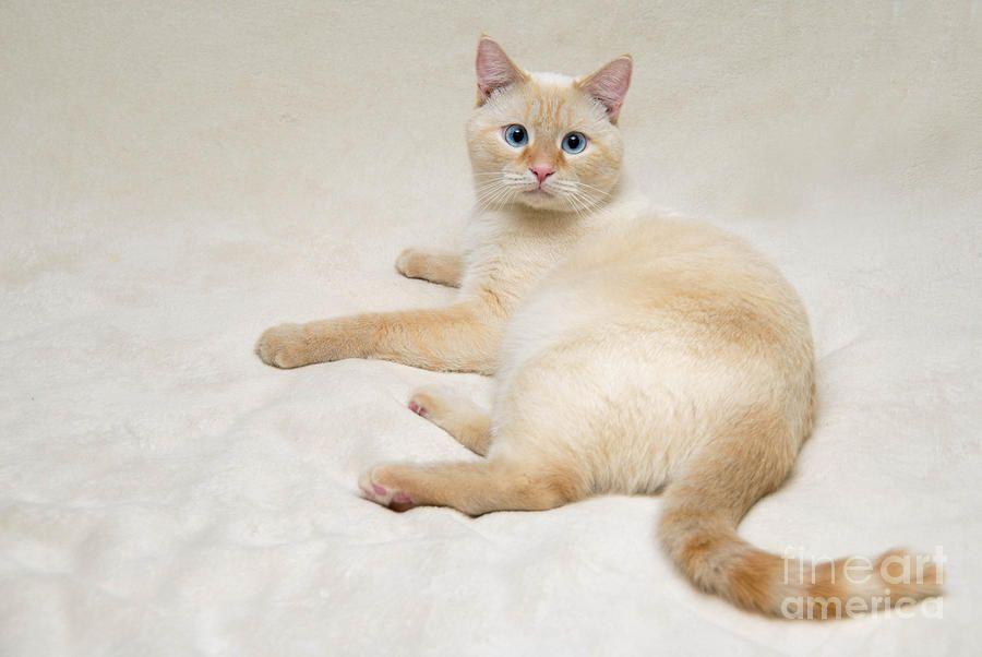 Sziami Fajta Jellemzok Cat Breeds Siamese Cats Kittens