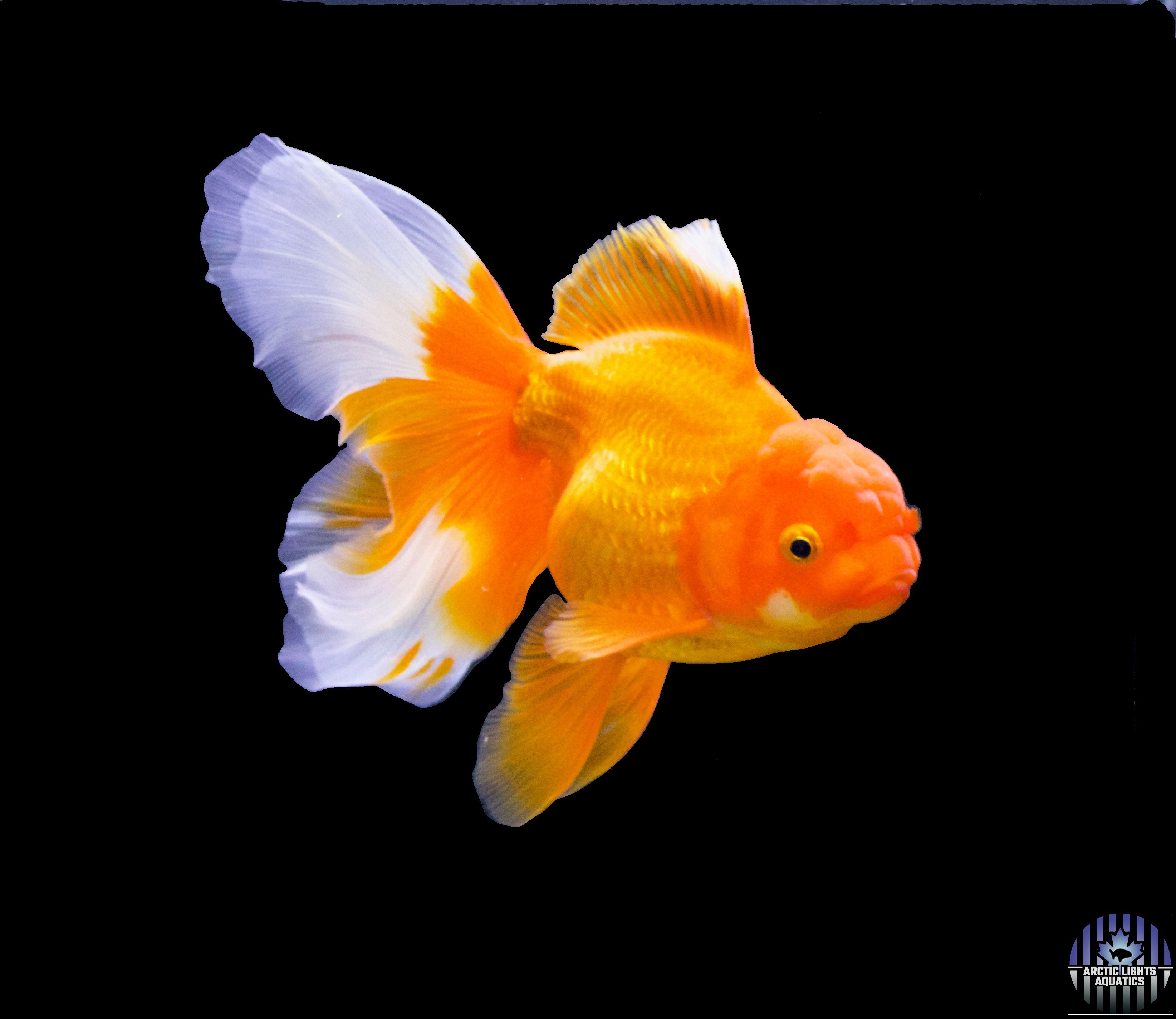 This Is One Of Our Beautiful Oranda Goldfish Sephina Click On The Image To Be Taken To Our Youtube Channel Wh Oranda Goldfish Goldfish Types Fantail Goldfish