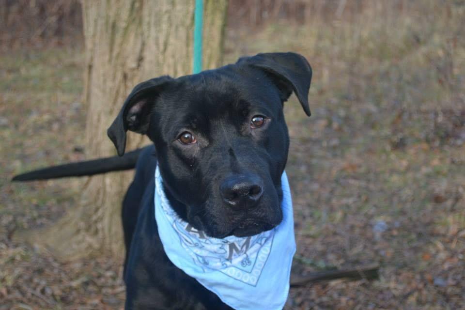 Safe Urgent Staten Island Center Bishop A0989048 Male Black Labrador Retr Boxer 1 Yr Stray Stray Wait I Love Dogs Labrador Dogs