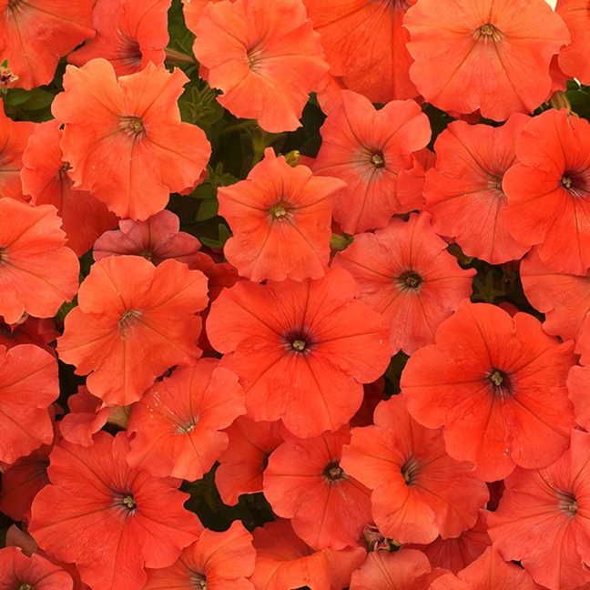 African Sunset Petunias Having A Hard Time Finding These With