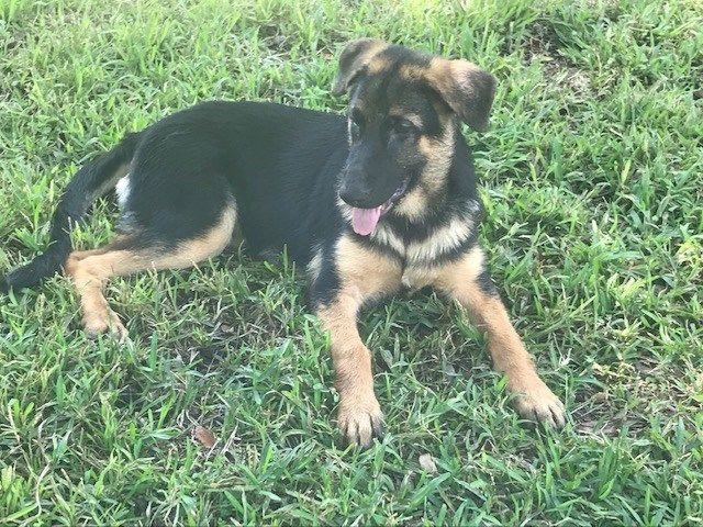 Puppies For Sale Puppies for sale, Puppies, Shepherd puppies
