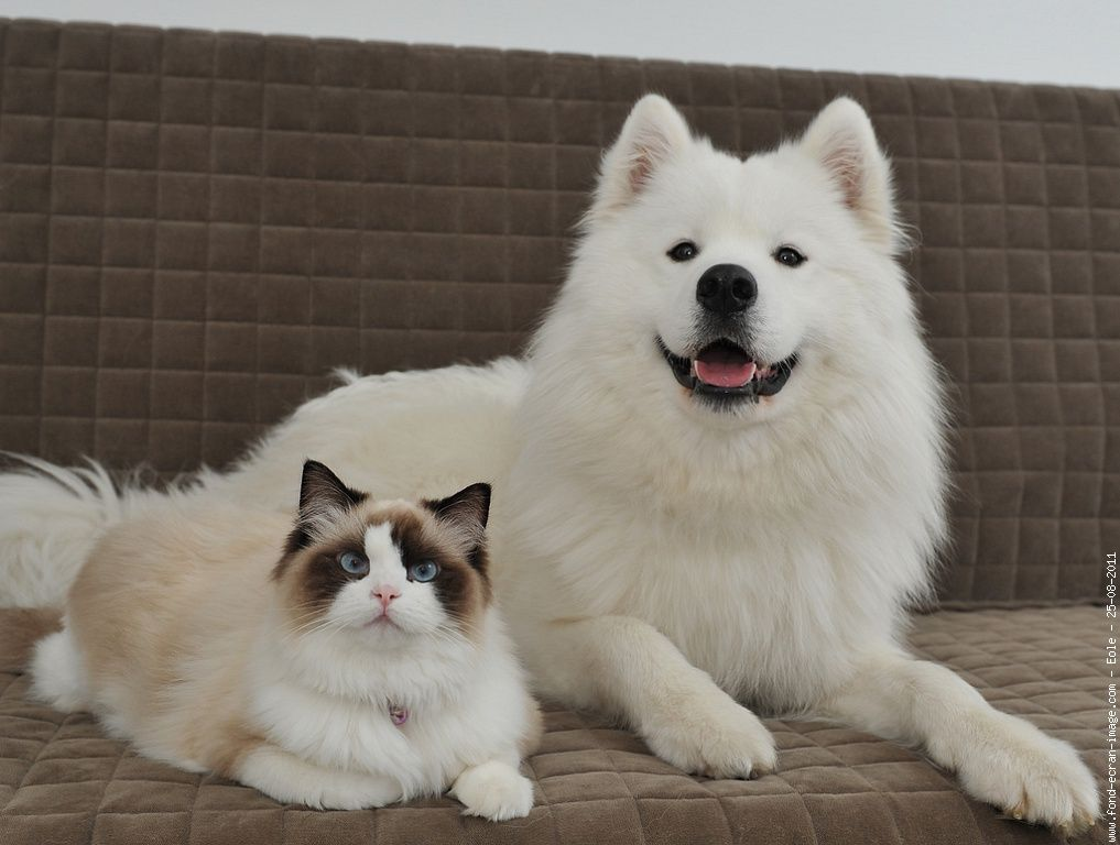 chat ragdoll chien samoyede et chat ragdoll couches samoyeds one day pinterest. Black Bedroom Furniture Sets. Home Design Ideas