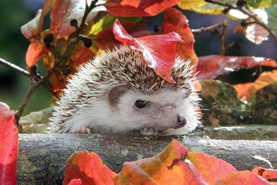 Afbeeldingsresultaat voor Richard Austin  hedgehog