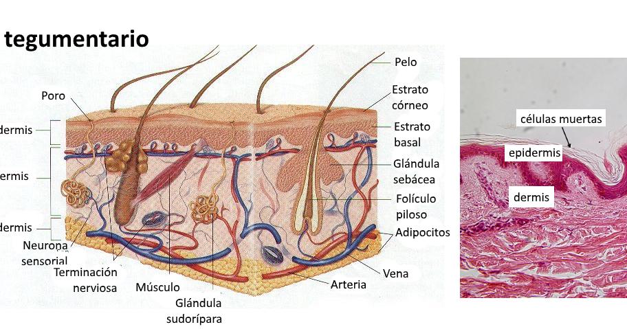 El Sistema Tegumentario Esta Formado Por La Piel Y Sus Organos Anexos El Pelo Las Unas Los Musc Anatomia Y Fisiologia Humana Anatomia Actividades Montessori