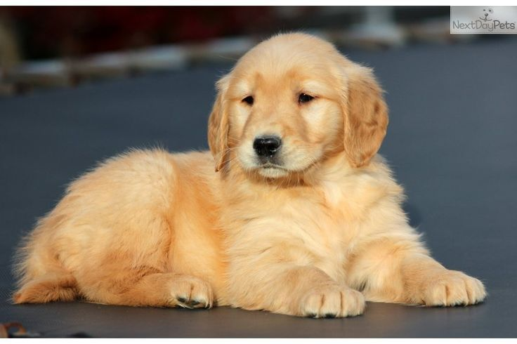 Beautiful Golden Retriever Puppy Sitting Jpg 736 490 Retriever