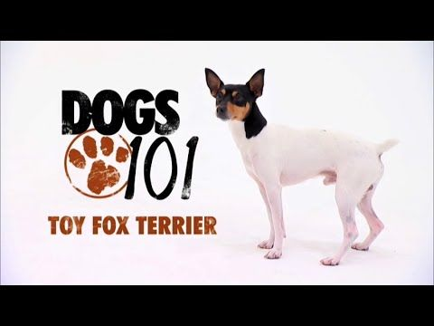 Dogs 101 Toy Fox Terrier Eng Youtube Toy Fox Terriers Fox