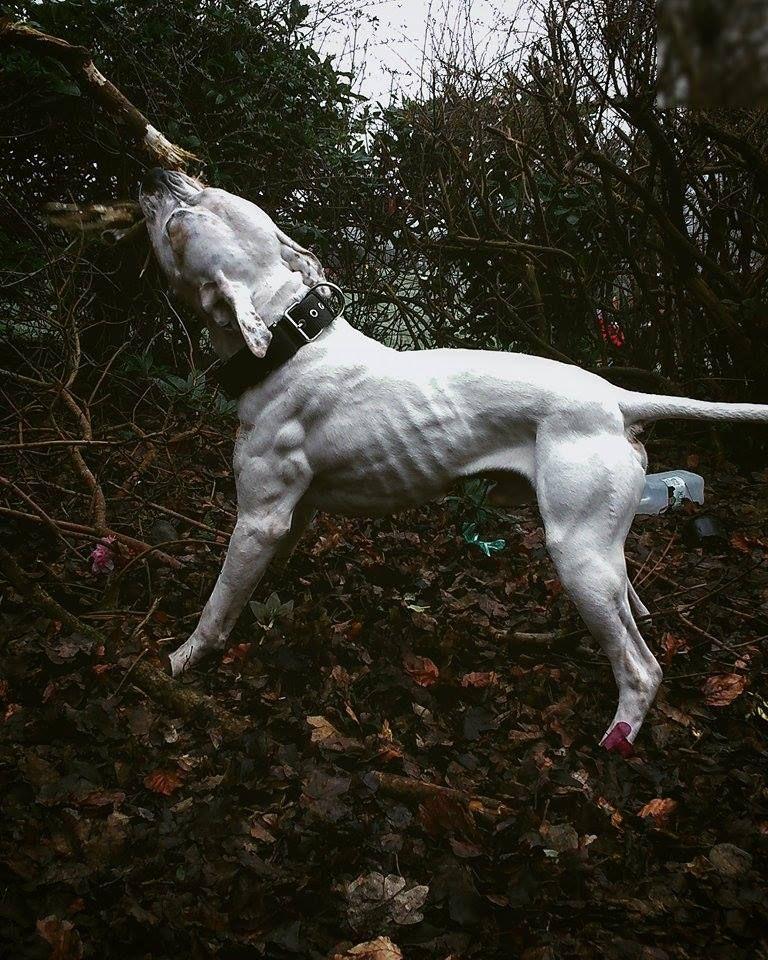 Ripped American Bulldog At 114 Lbs With Images Dog Argentino Dog Breeds American Bulldog Puppies