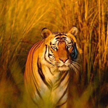 Mehr Tiger für Asien via @WWF Deutschland