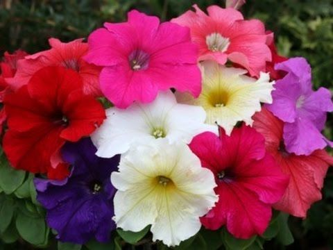 How To Plant Petunia Seeds How To Grow Pansy From Seeds November 201 Petunias Plants Pansies