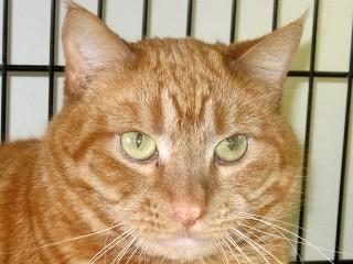adopt punky on petfinder  cats saving cat tabby