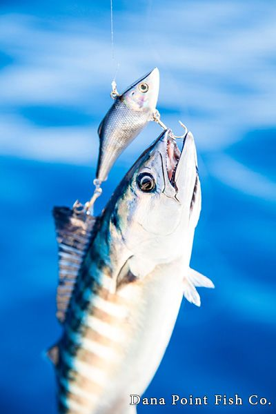 Bonito with Bait - Photo of the Day