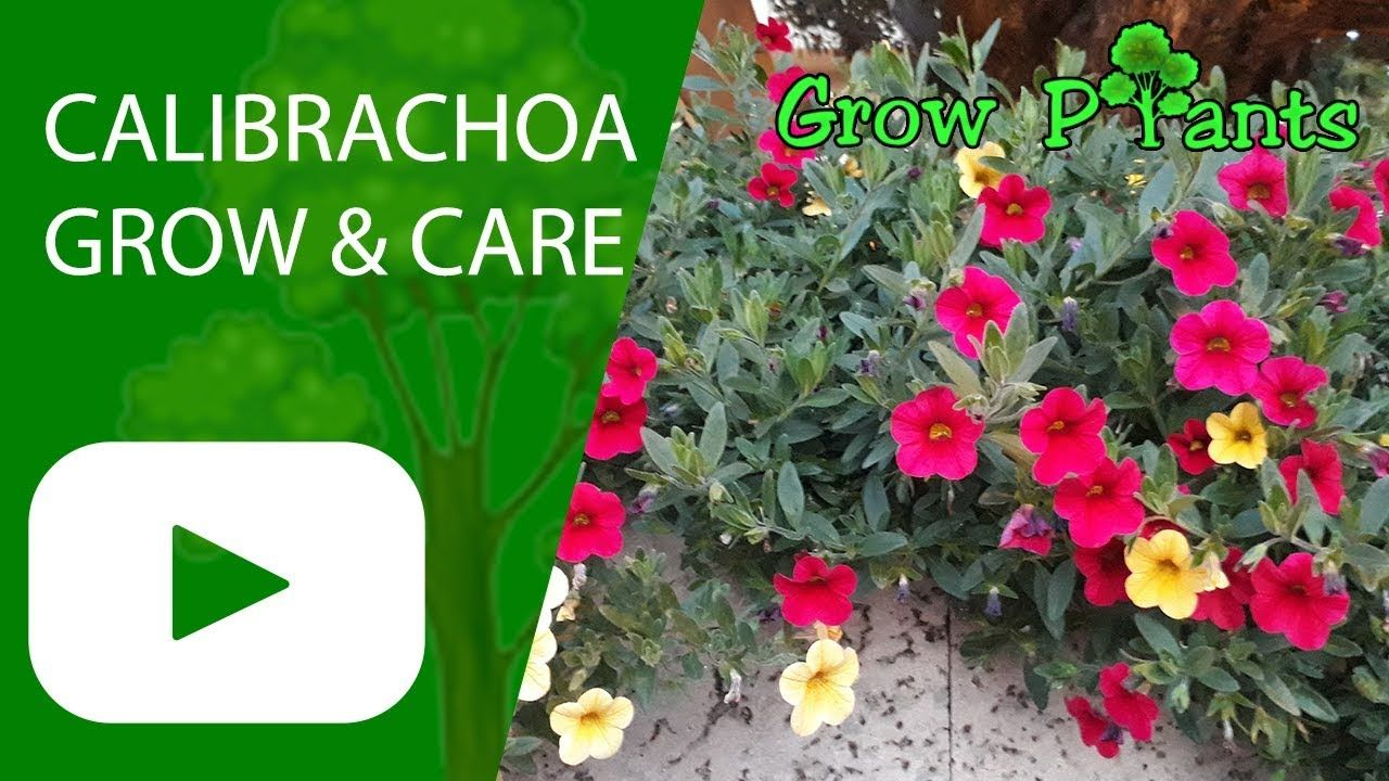 Calibrachoa Grow Care Beautiful Ground Cover Plant Information Climate Hardiness Zone Uses Growth Speed Plants Growing Plants Easy Plants To Grow