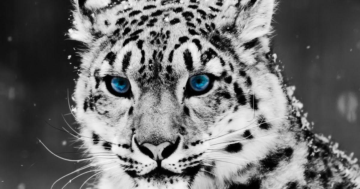 خلفيات حيوانات اليفة 2019 و خلفيات حيوانات مفترسة Hd تم تصويرها من الحياة البرية في تصوير الحياة البرية أو التصوير ا Snow Leopard Art Leopard Art Snow Leopard