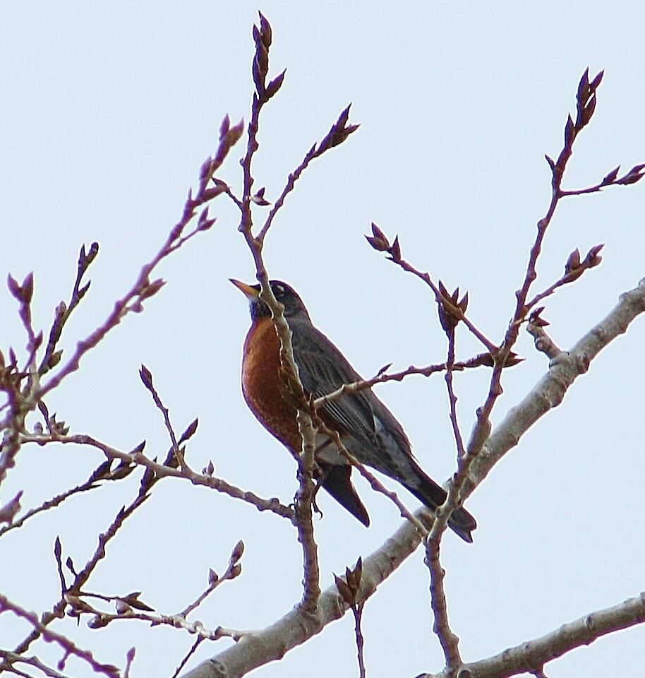 First robin of the year announcing the arrival of Spring one day early in Alberta, Canada. Photo: @LaoneHuman