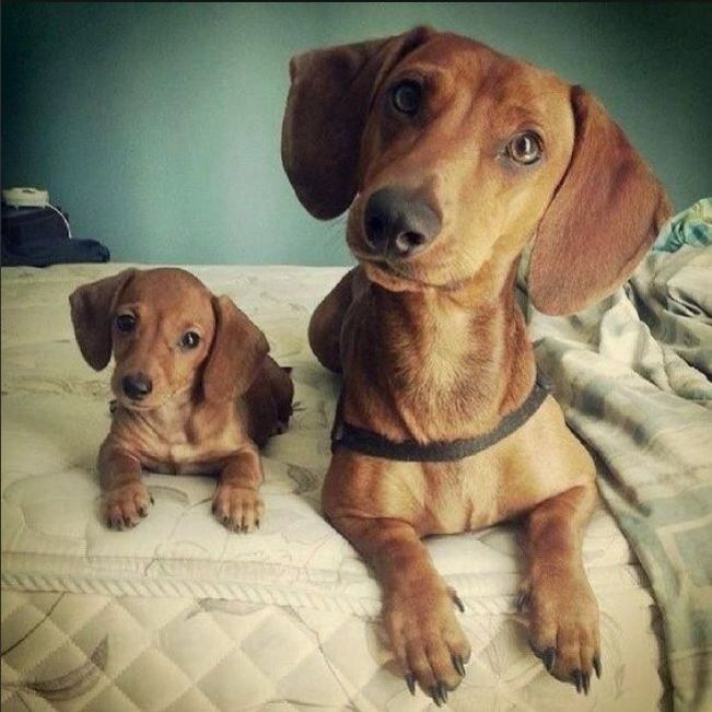Pin By Vladlena M On Puppies Cute Dogs Dog Love Dachshund Love