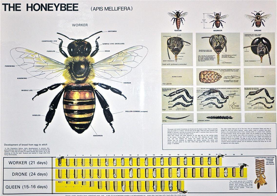 Bee anatomy | Bees | Pinterest | Bees
