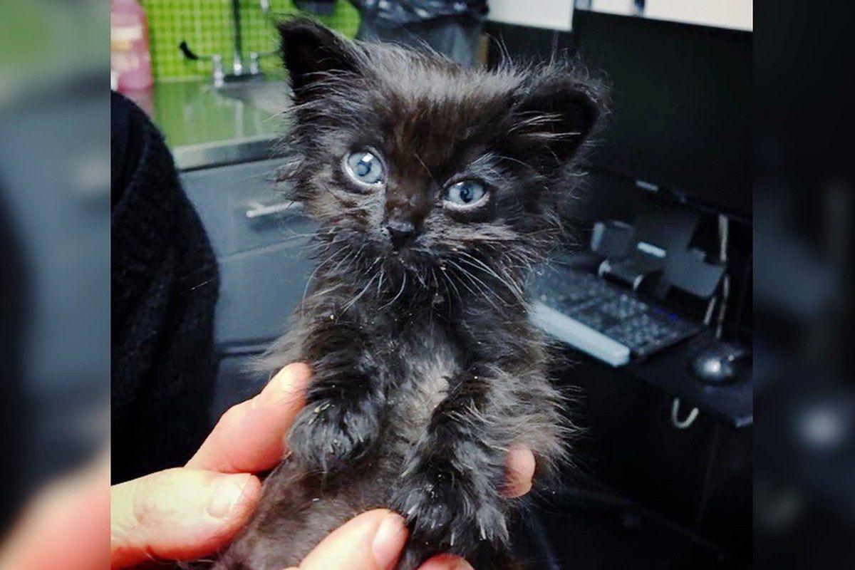 Dwarf Kitten Found On Concrete Slab Gets Help To Grow In These