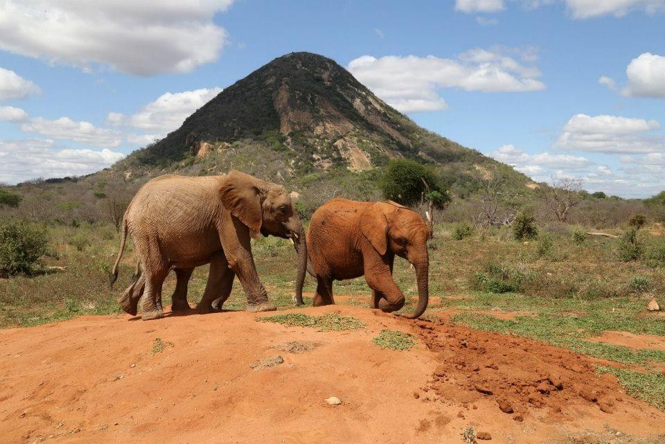 Die Elefantenwaisen werden nun regelmäßig Ausflüge in den Nationalpark unternehmen, bis sie alt genug sind, um sich einer wildlebenden Herde anzuschließen.  Bild: (c)DSWT