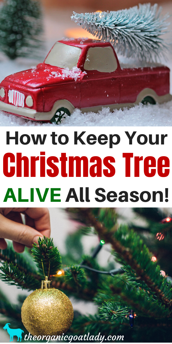 How To Keep A Christmas Tree Alive! | Real christmas tree ...
