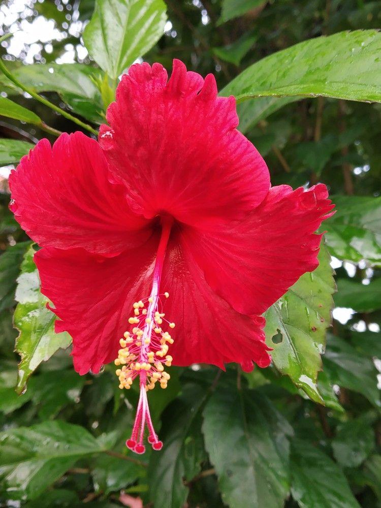Red Hibiscus Flower Hibiscus Plant Hibiscus Tree Growing Hibiscus