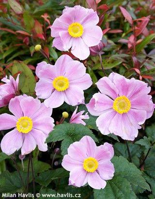 "Anemone hupehensis ""Pink Saucer"""