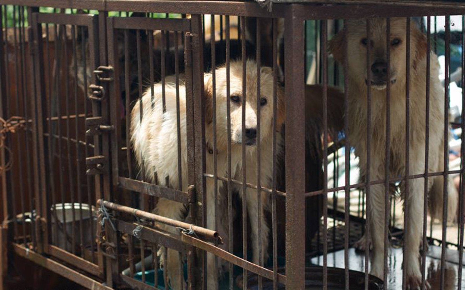 Cruel People Sold Their Dogs Into The Meat Trade Then Something