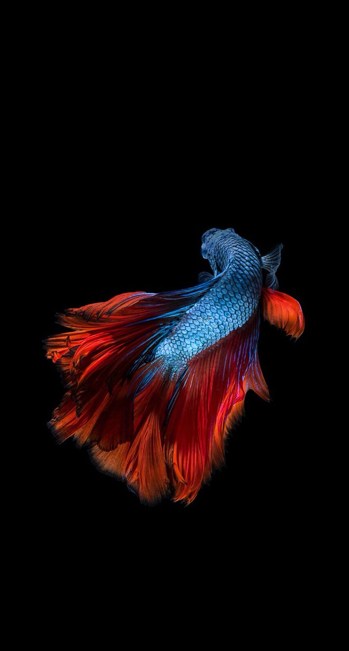 Golden Fish Fish Wallpaper Iphone Apple Wallpaper Fish Wallpaper