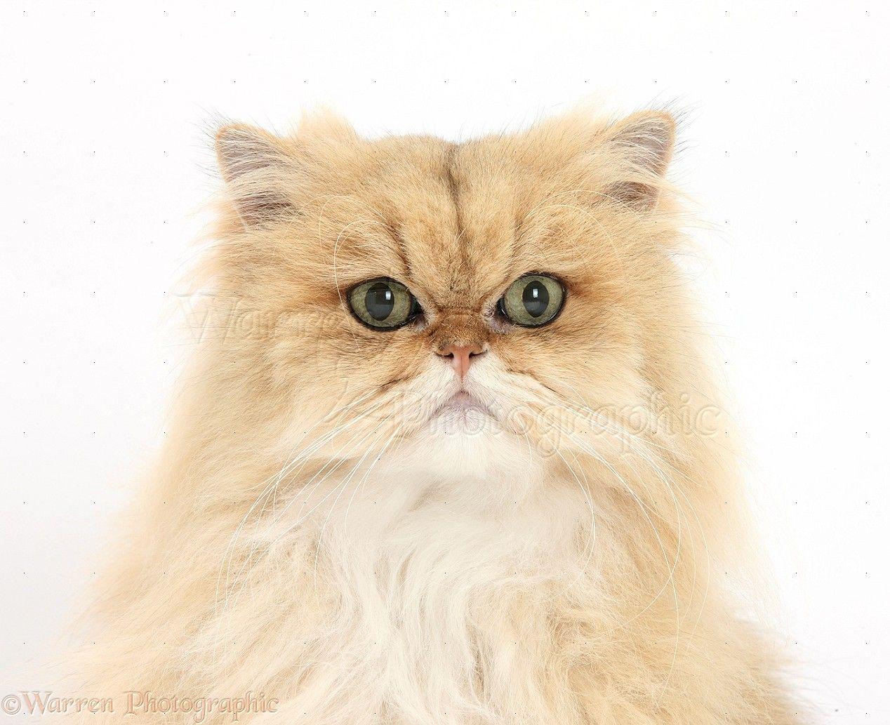 Persian Cat Golden Chinchilla Persian cat