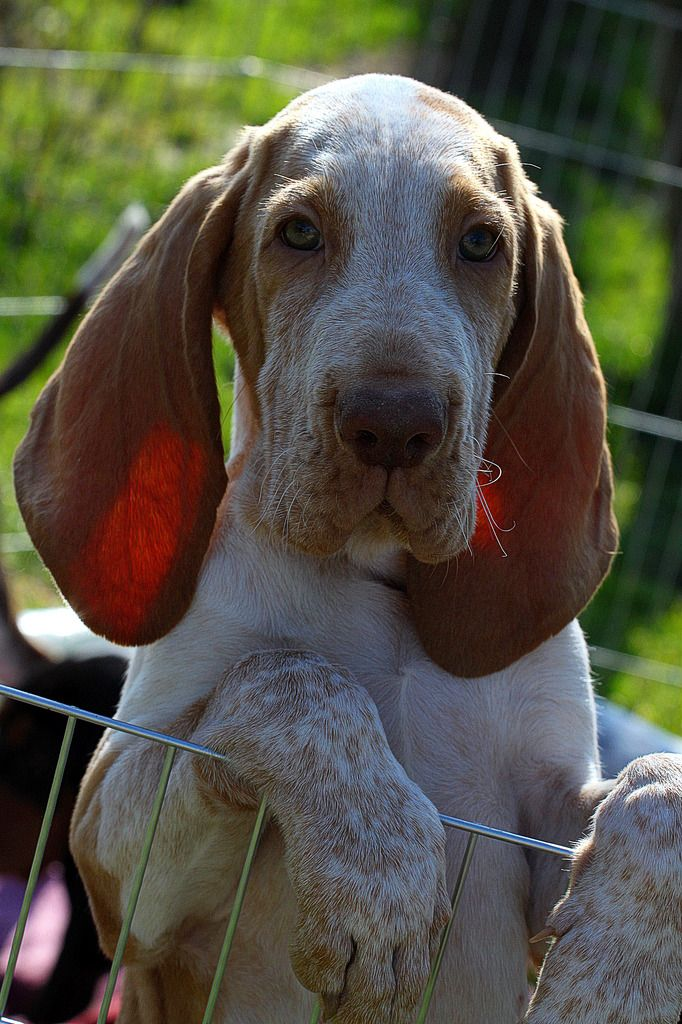 Bracco Italiano puppies