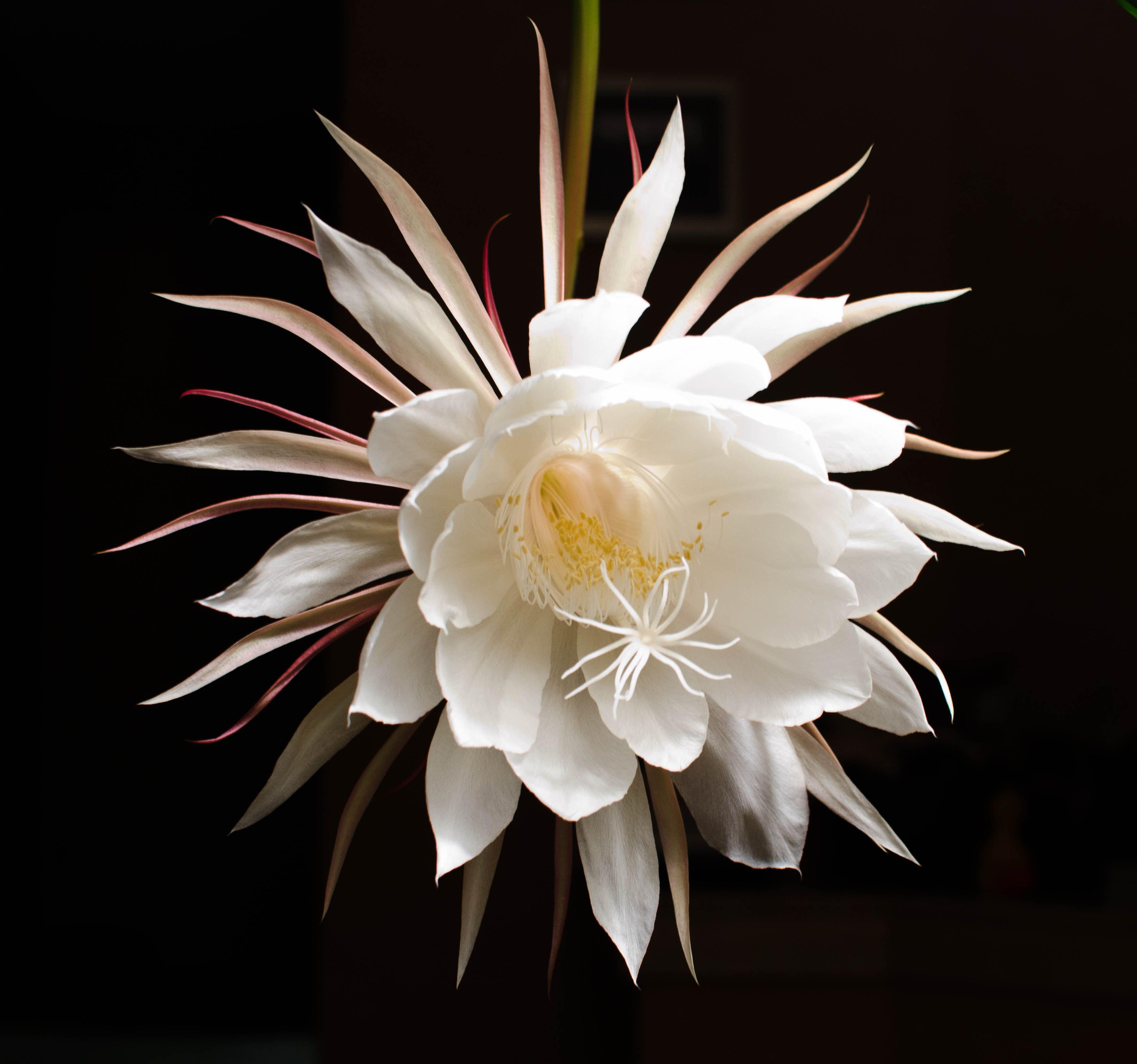 Night Blooming Cereus From the homeliest of plants es the Princess o