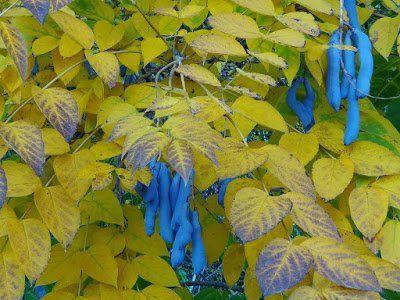 Blue Bean Plant Information