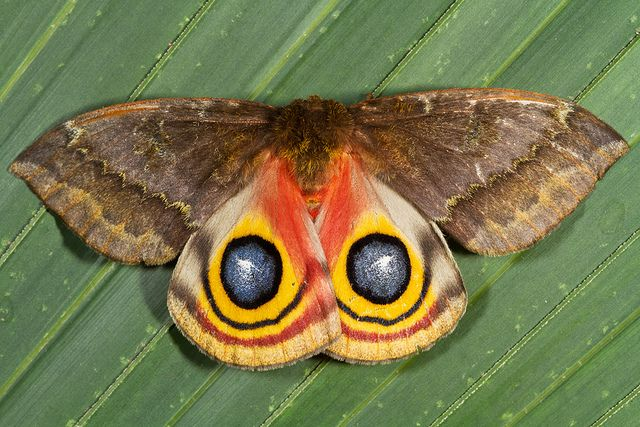 Io Moth : A female Io Moth displaying her brilliant eye spots to a potential predator.
