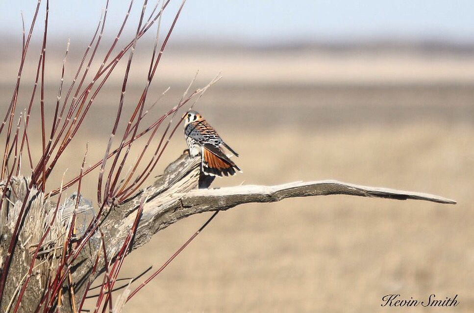 "Copyrights belong to Kevin Smith. ""American Kestrel"" Falcon taken in Riding Mountain National Park."