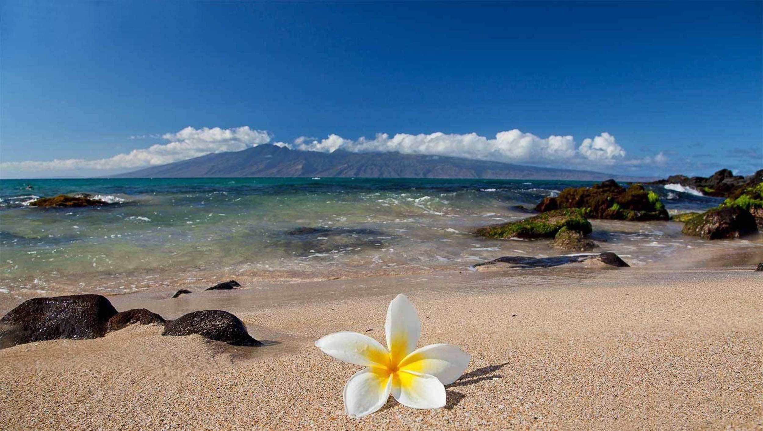 Tropical Island Beach Ambience Sound: White Tropical Plumeria Flower On Beach HD Wallpaper