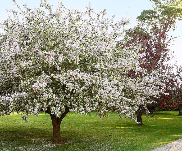Malus Ioensis Plena Bechtel Crab Zone 4 H S 15 20 Apple Blossom Color Crabapple Tree Flowering Crabapple Tree Trees To Plant